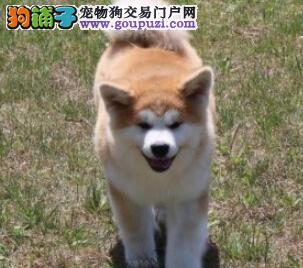 太原家养极品秋田犬转让纯日系血统终身质保