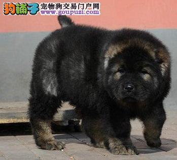 专业犬舍直销超高品质吐鲁番高加索犬血统正宗包养活