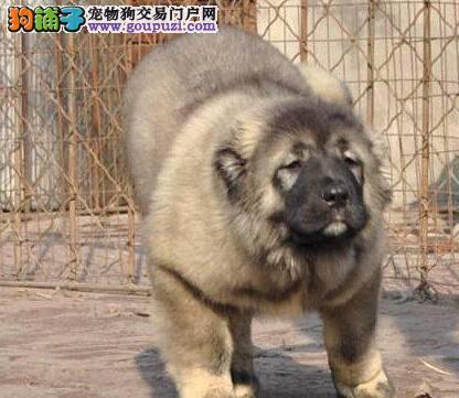 广东知名犬舍出售多只赛级高加索质保三年支持送货上门