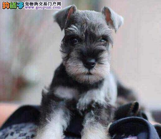 和平养殖场直销老头版大胡子雪纳瑞犬品质保证完美售后
