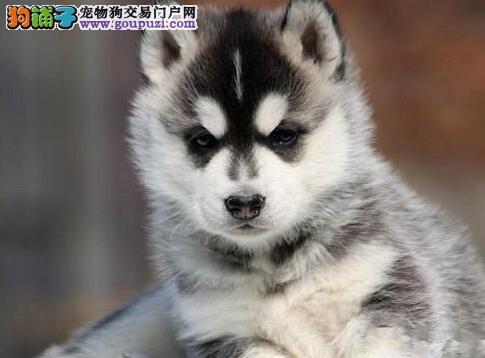 三把火双蓝眼的贵阳哈士奇幼犬找新家 狗贩子勿扰