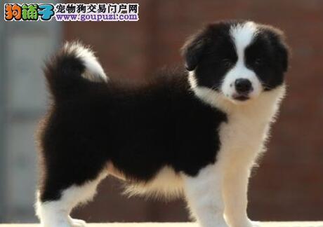 边境牧羊犬广东最大的正规犬舍完美售后下单有礼全国包邮
