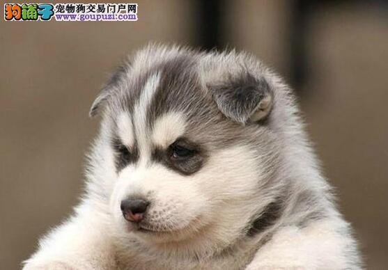 广州知名犬舍低价出售三把火双血统哈士奇幼犬 签协议