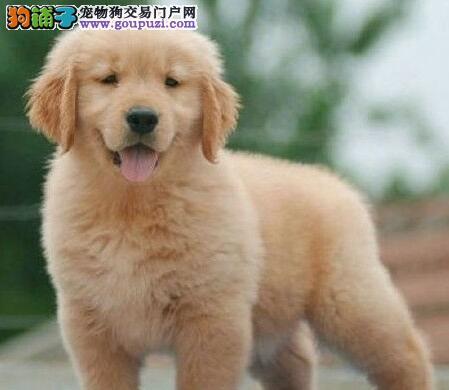 自家繁殖的贵阳金毛犬低价出售 大骨架品相极好