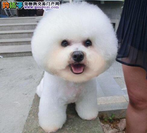 售甜美脸型大眼睛的呼和浩特比熊犬 爱狗人士优先选