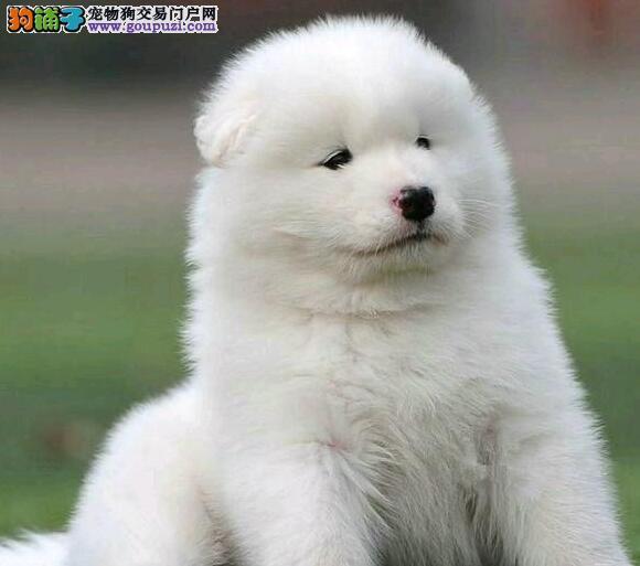 重庆热卖萨摩耶多只挑选视频看狗价格美丽非诚勿扰