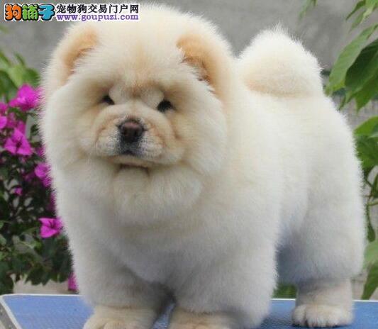 宁波大型犬舍直销大嘴紫舌松狮犬可协议可上门看狗狗