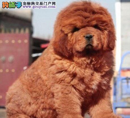 低价出售高品质藏獒幼犬 可来深圳实体店当面挑选