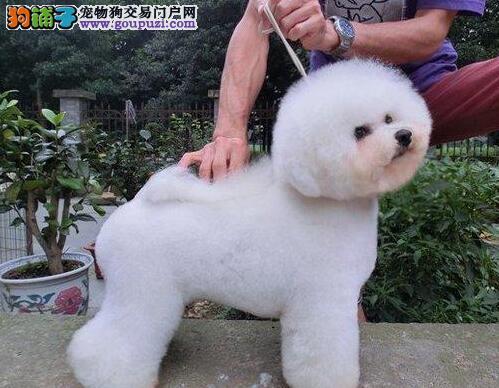 自家繁殖的卷毛和平比熊犬低价出售 赛级品质血统纯正
