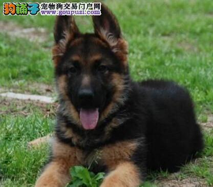 重庆出售大型德国牧羊幼犬 重庆德牧价格多少钱包纯种