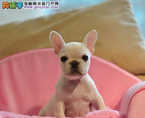 法国斗牛犬宝宝出售中 低价热销保健康 喜欢加微信