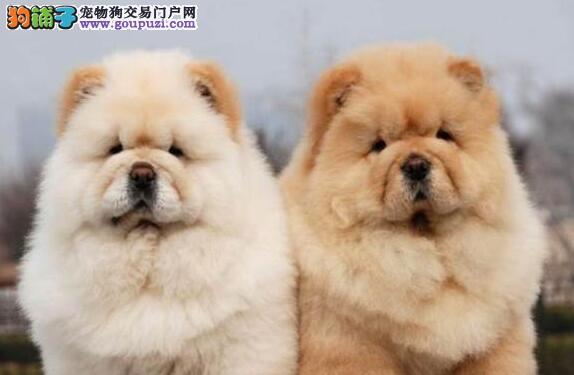 重庆哪里有卖松狮犬松狮多少钱可以买到重庆什么地方有