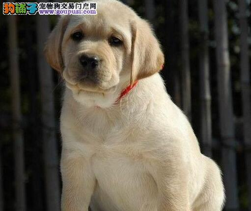特价直销优秀血统大连拉布拉多犬 欢迎来青岛犬舍考察