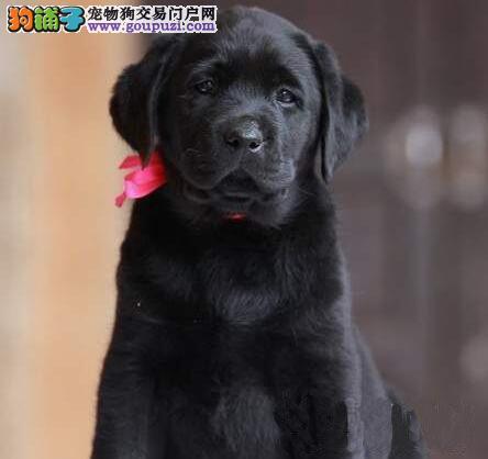 天津精品高品质拉布拉多幼犬热卖中国际血统认证