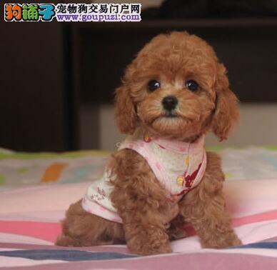 武汉精品茶杯泰迪 ,玩具泰迪熊犬,疫苗齐全品质第一