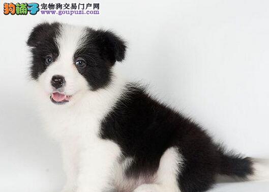 高智商品相好的广州边境牧羊犬火爆出售 疫苗驱虫齐全