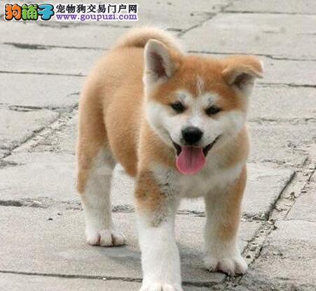 极品秋田犬幼犬 可办理血统证书 专业信誉服务