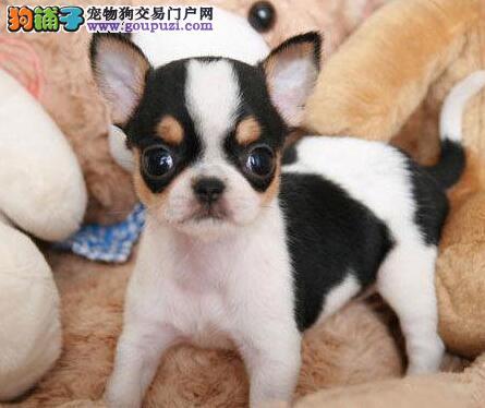 CKU认证服务犬舍纯种健康大眼吉娃娃出售质保三年