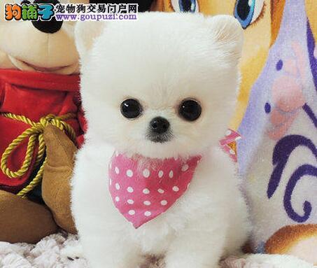 珠海正规犬舍出售超小体超大毛量的博美犬 欲购从速