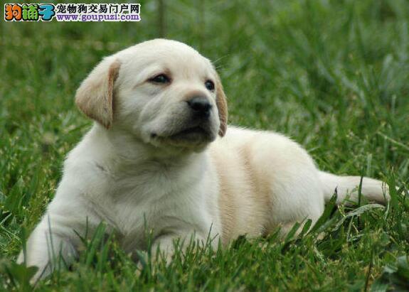 极品优秀拉布拉多犬西安狗场直销 可签协议有血统证书