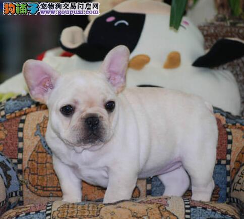促销纯种优质斗牛犬 武汉市内有实体店专业出售