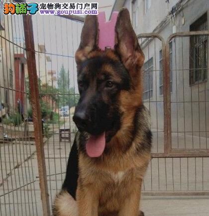 特价出售大头锤系运城德国牧羊犬 可赠送狗用品