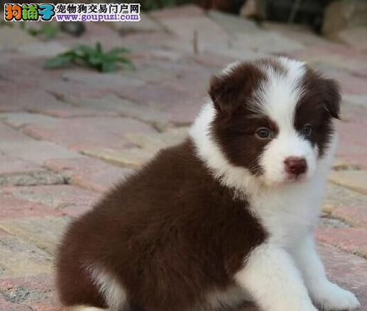 优秀北京边境牧羊犬特价出售中 有血统证明可植入芯片