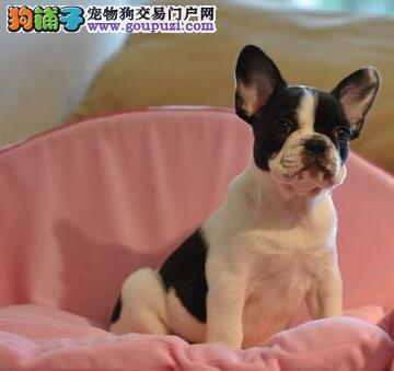 赣州出售极品法国斗牛犬幼犬完美品相优质服务终身售后