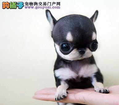 CKU犬舍认证出售纯种吉娃娃欢迎您的光临