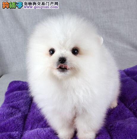 出售 家纯种球体博美 非常活泼可爱 可上门看狗