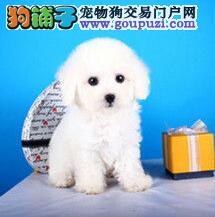 CKU认证犬舍出售高品质比熊冠军级血统品质保障