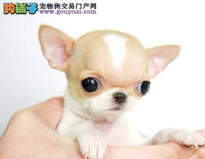 养不死才是王道 苏州基地直销吉娃娃犬 幼犬健康保障
