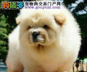 天津实体店热卖松狮颜色齐全签订协议包细小犬瘟热