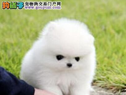 顶级优秀哈多利版北京博美犬特价直销 保证纯度和健康