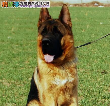 直销高品质大头锤系德国牧羊犬 北京市内可免费送狗