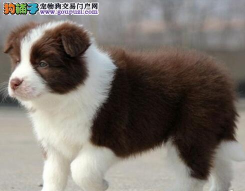 纯种边境牧羊犬 包养活 签协议深圳出售