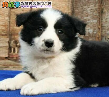 顶级优秀七白到位边境牧羊犬北京犬舍出售 价格可谈