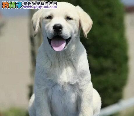 出售纯血统的南京拉布拉多幼犬 可签协议书保证售后