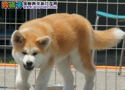实物拍摄的郑州秋田犬找新主人郑州当地上门挑选