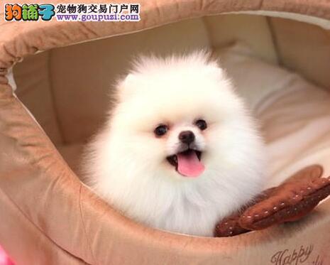 自家繁殖的纯种博美犬找主人全国当天发货