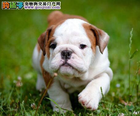 纯正血统的哈尔滨斗牛犬直销价格出售 支持上门看狗