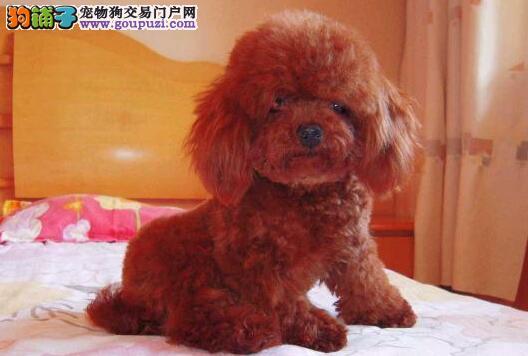 出售泰迪犬幼犬品质好有保障包养活送用品