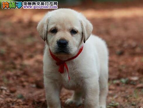 出售自家繁殖的大庆拉布拉多犬 可随时与我电话联系