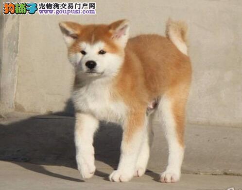平凉出售秋田犬颜色齐全公母都有终身售后送货