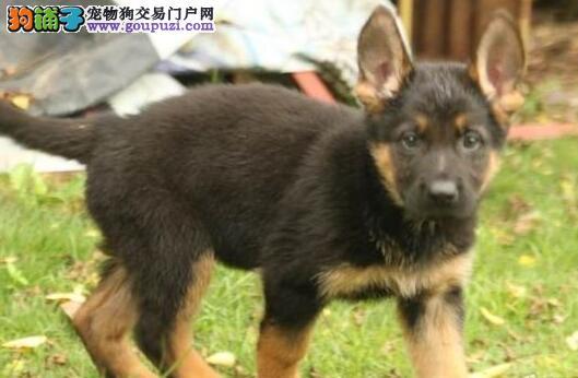 出售纯种德国牧羊犬带耳号 品相好 疫苗已做可上门看