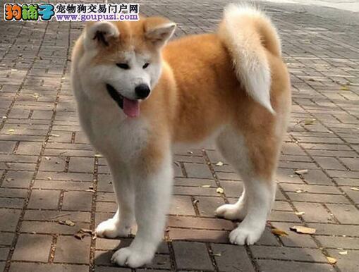 CKU认证犬舍 专业出售极品 秋田犬幼犬请您放心选购