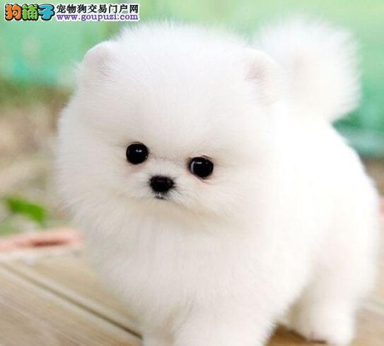 自家繁殖博美犬出售公母都有终身质保终身护养指导