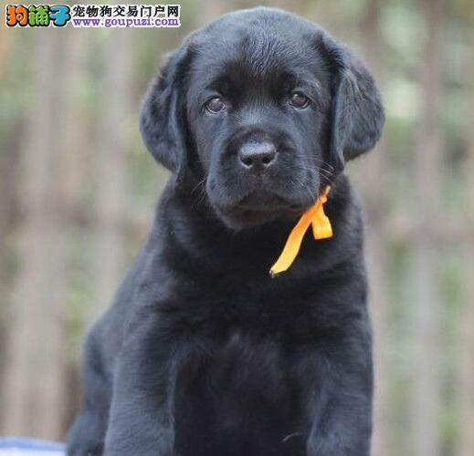 热销精品深圳拉布拉多犬 可签订销售协议保证质量健康