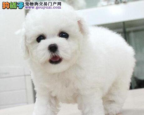 深圳市上门犬业出售比熊犬/当天全款包邮·送货上门
