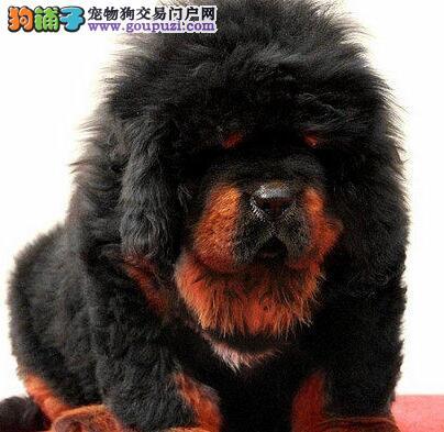 纯种狮头济南藏獒幼犬出售 超低的价格 超高的品质
